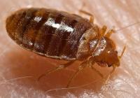 A Bed Bug, <i>Cimex lectularius</i>