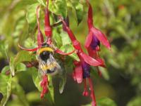 European Bumblebee Pollinating <i>Fuchsia</i>