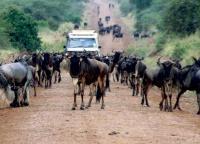 Wildebeest Migration in Serengeti National Park