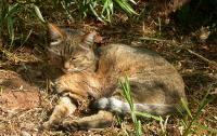 Near Eastern Wildcat