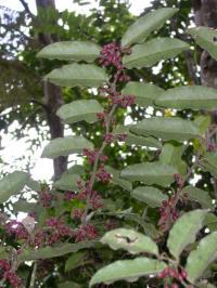 Fruiting <I>Amborella trichopoda</I>
