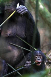 Bonobo-Mother-Child
