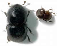 <i>Hadrodemius globus</i> Female and Male