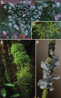 <i>Amborella epiphytes</i>