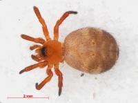 <i>Euryopis flavomaculata</i>