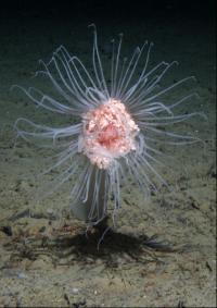 Hydroid <I>Corymorpha glacialis</I>