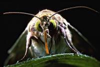 Bollworm Moth