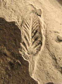 <I>Avalofractus</I> Fossil