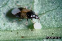 <i>Orius insidiosus</i>