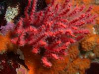 <i>Psammogorgia hookeri</i> (1 of 2)