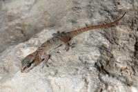 <i>Hemidactylus persicus</i>