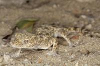 <i>Pseudoceramodactylus khobarensis</i>
