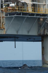 Humpback Whale under Oil Platform