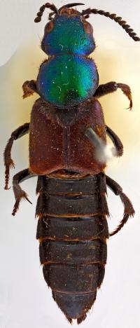<em>Darwinilus sedarisi</em> (1 of 2)