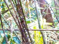 Cambodian Rattan Species <i>Calamus kampucheaensis</i>