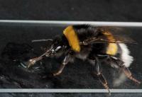 Bumblebee Drinking a Virus Inoculum