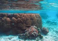 Flat-top Porites Coral
