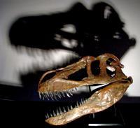 <i>Torvosaurus gurneyi</i> Skull