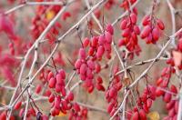<i>Berberis vulgaris</i>
