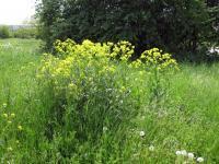 <i>Bunias orientalis</i>