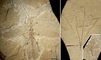 <I>Cretophasmomima melanogramma</I>