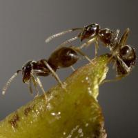 Lasius Neglectus