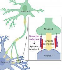 Neurexin