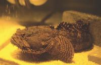 Toadfish (<i>Opsanus tao</i>)