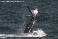 Humpback Whale Entangled