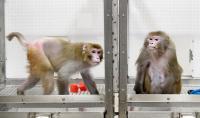 Monkey Caloric Study