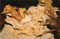 Mid Miocene <em>Nimbacinus dicksoni</em> (2 of 2)