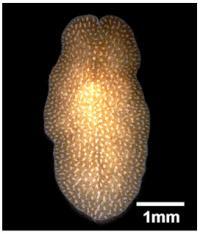 <i>Amakusaplana</i> Flat Worm