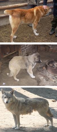 Shepherd Dog, Hybrid, Wolf