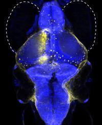 Neuron Zebrafish