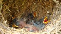 Darwin's Finch Nestlings