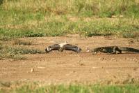 <i>Burhinus vermiculatus</i> Monitor Lizard
