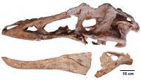 <i>Qianzhousaurus</i> Skull