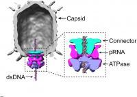 Phi 29 virus capsid