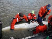 Examining Beluga Whale