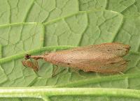 <i>Dystacta tigrifrutex</i>