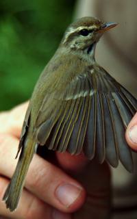 East Siberian Greenish Warbler