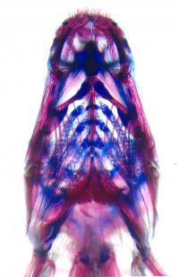 Evo-devo in African cichlid fish