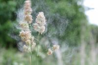 Cock's-Foot Releases Pollen