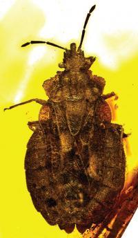 <i>Aradus macrosomus</i>