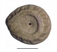 <i>C. arenicola</i> (1 of 2)