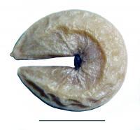 <i>C. arenicola</i> (2 of 2)