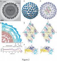 Dengue Virus Images