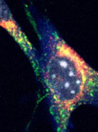 Mitophagy