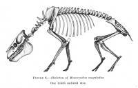 Megalodon Skeleton