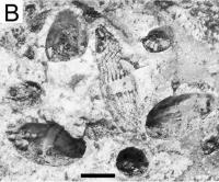 Fossils in Paleozoic Chert Millstones.